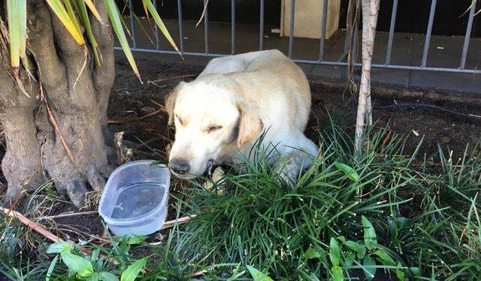 Tratamento do Labrador abandonado com Cinomose