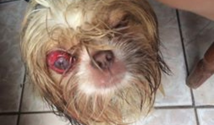 Cirurgia de R$2 mil para cachorrinho com olho perfurado em briga