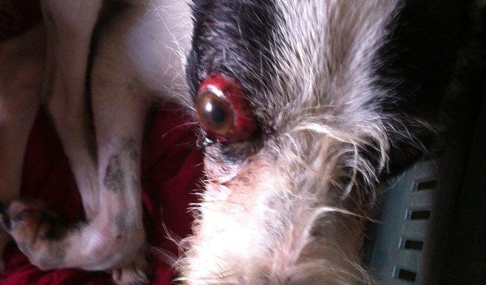 Operação da cachorra  lilika