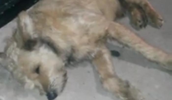 Cãozinho no Bom Retiro