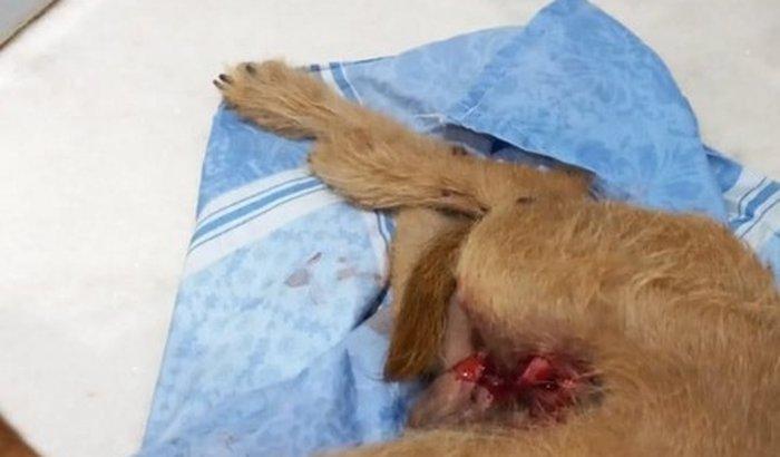 cirurgia do cachorrinho Zeus