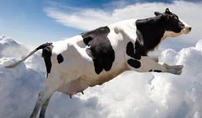 A vaca da Mimi vai voar!hehehe