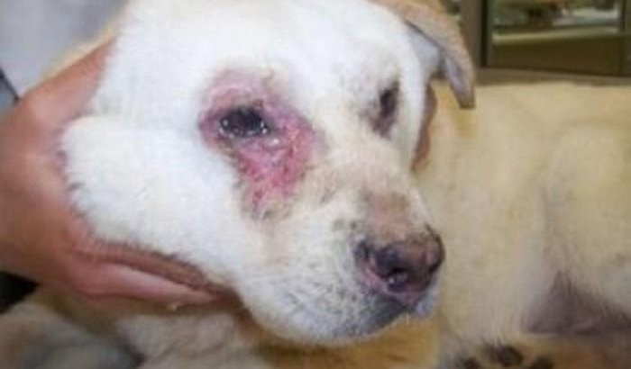 Filhote de cachorro abandonado ferido precisa de ajuda