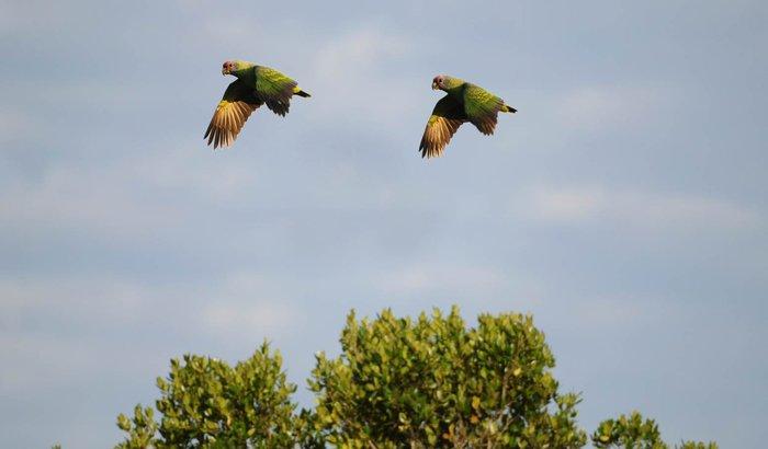 Ajude o Censo Populacional do Papagaio-de-cara-roxa 2019