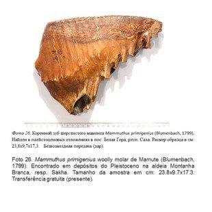 Cover molar de mamute
