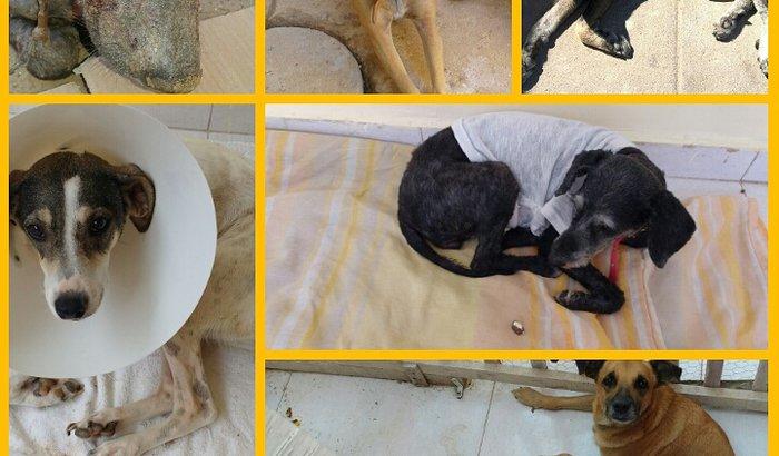 Tratamento para animais com TVT