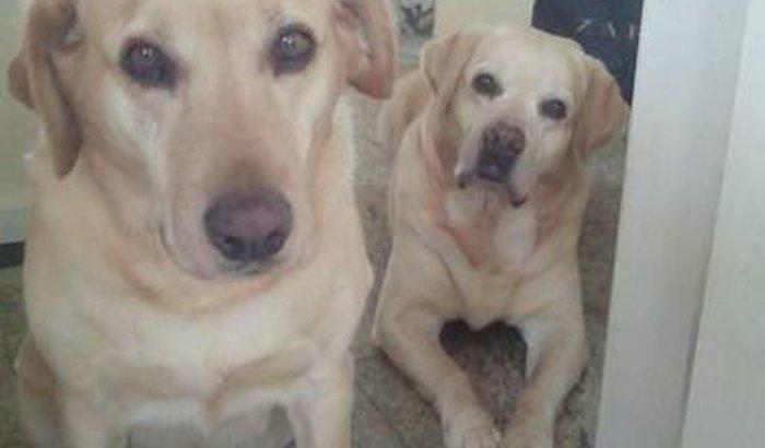 Ajude estes dois Labradores da ONG