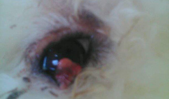 Cachorro poodle com tumor no olho