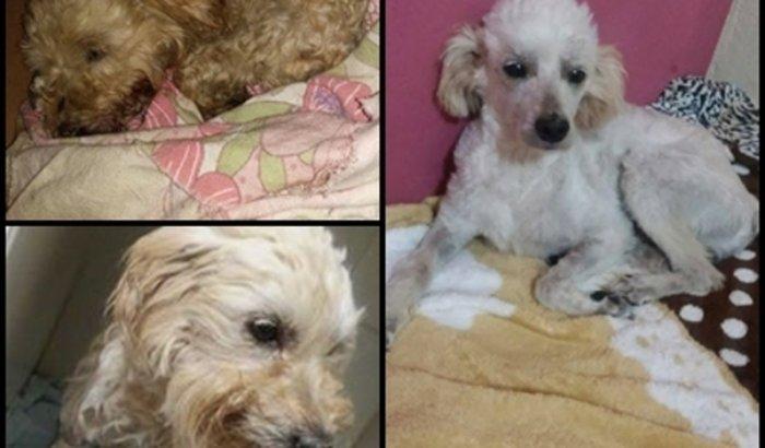 Ajuda para cão atropelado se recuperando de edema cerebral