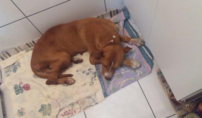 Cachorro abondonado e ferido