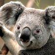 Thumb koala