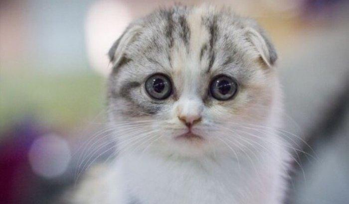 Preciso de um Gato Scottish Fold