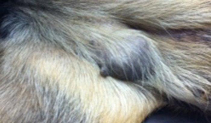 SOS Pet Ajuda para a cirurgia do Cancer de mama da nossa cachorrinha e os tratamentos após a cirurgia