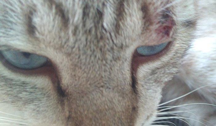 Ajuda para um gato com esporotricose
