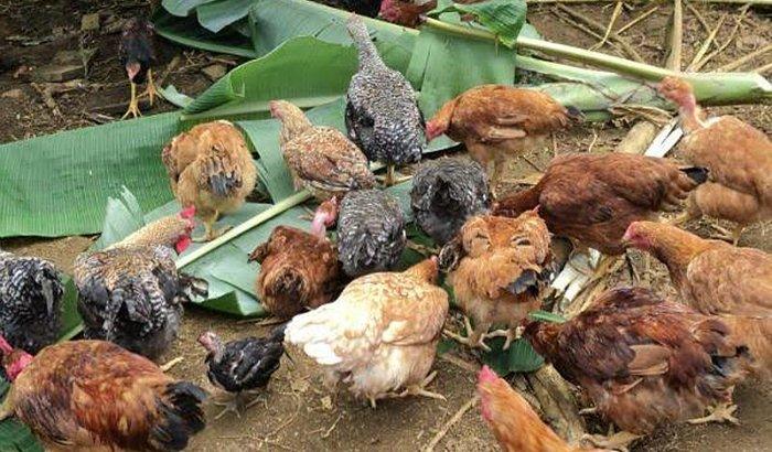 Me Ajude aumentar a criação de galinhas