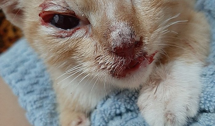 Ajuda para um gatinho que foi mordido pelo um cachorro