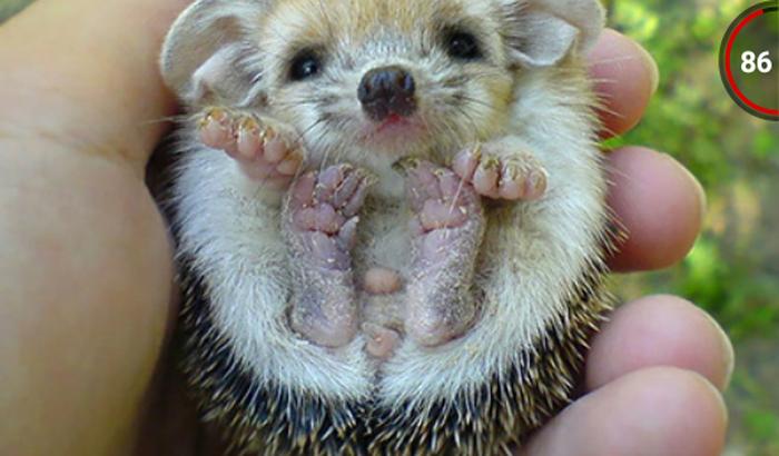Ajudeme a ter um hedegehog( ouriço pigmeu)