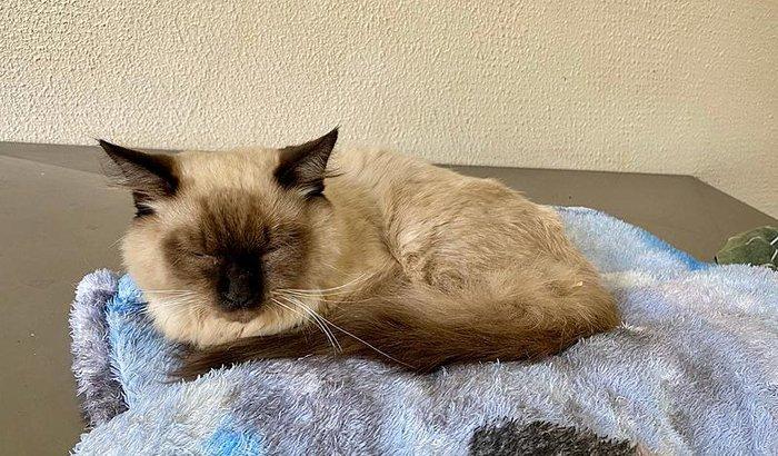Ajuda nos custos da cirurgia do gato Felix