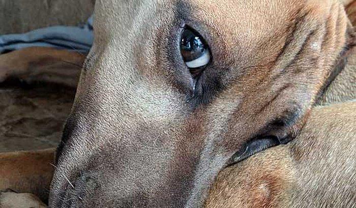 Acolhendo a Malcriada. Cachorra abandonada com Cinomose