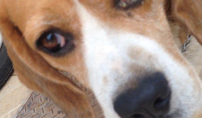 SOS beagle